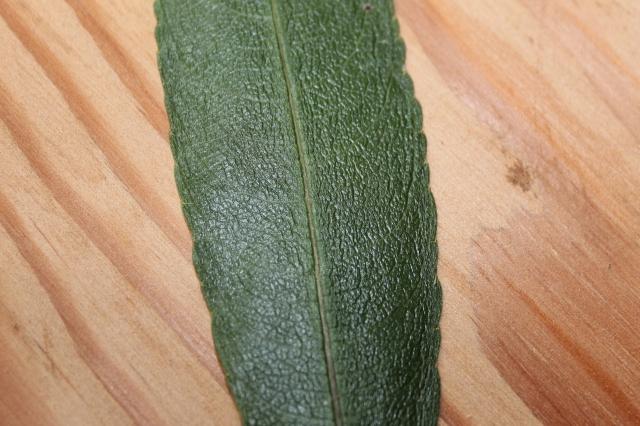 C. persicifolia lau