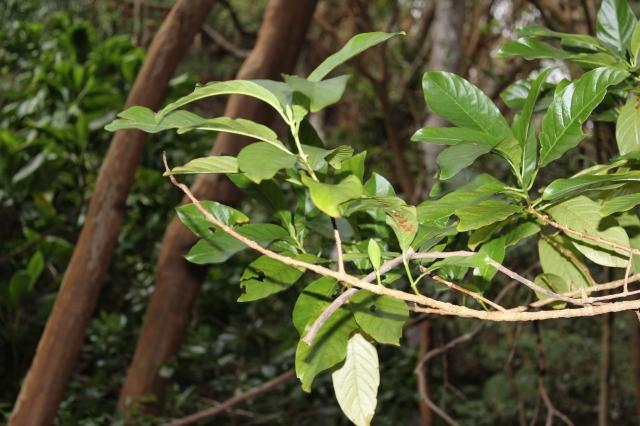 Noni kuahiwi