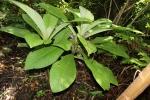 Cyanea crispa flowers