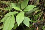 Cyanea acuminata