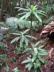 Cyanea lanceolata