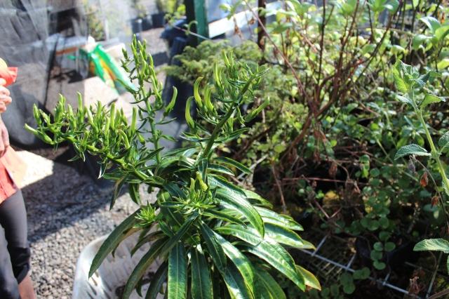 Trematolobelia grandifolia