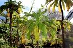 Clermontia pyrularia