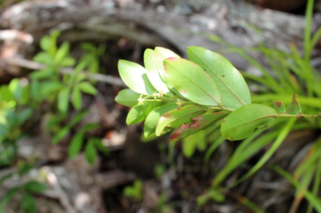 phyllanthus