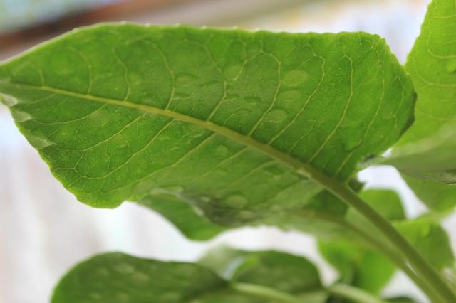 Cyanea asarifolia underside