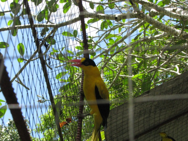 Black naped Oriole