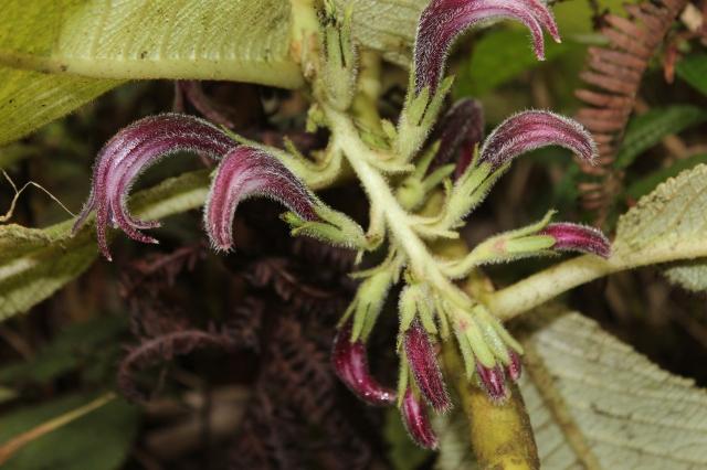 miliohu inflorescence