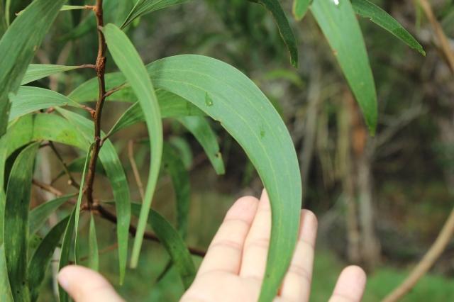 koa phyllodes