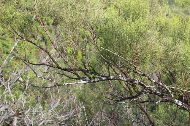 Exocarpus