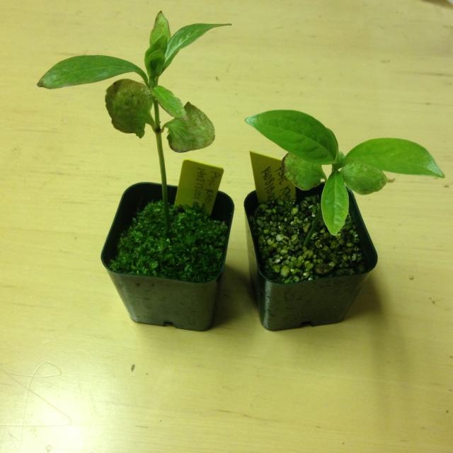 Psychotria longissima