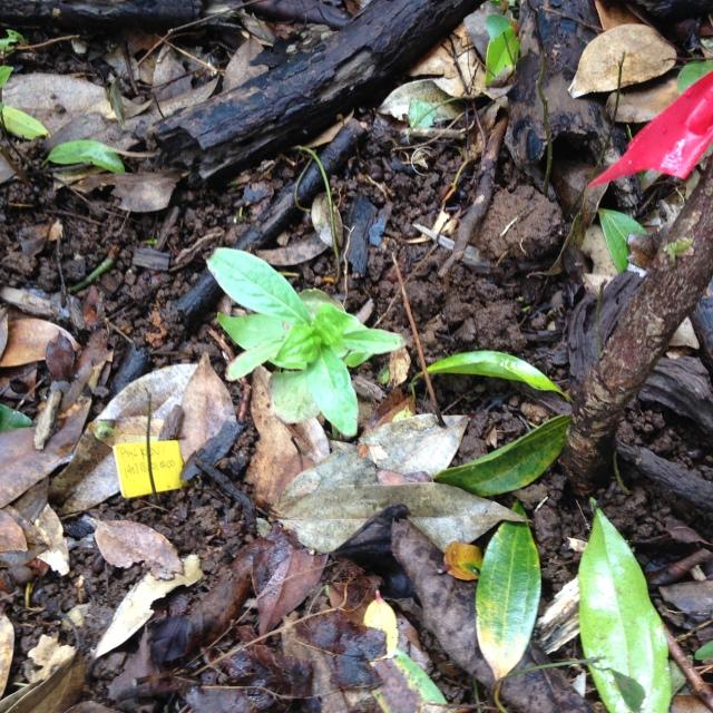outplanted Psychotria longissima